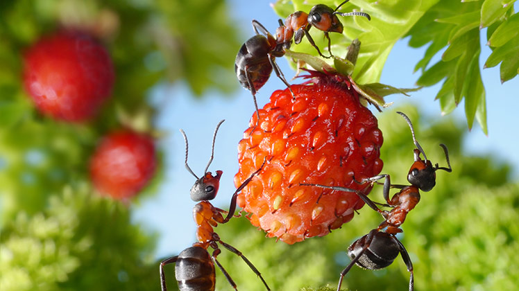 mieren-op-aardbei_748