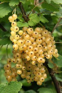 Bunch of white currants on a bush in summer.